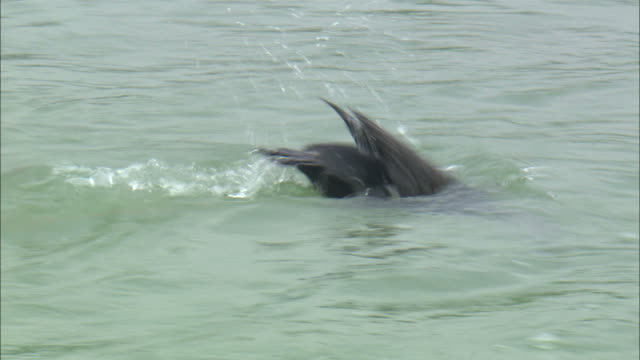 stockvideo's en b-roll-footage met cormorants hunting fish underwater while tied to a string - cormorant
