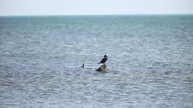 stockvideo's en b-roll-footage met cormorants in the sea - cormorant
