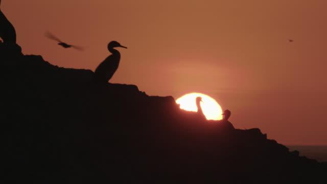 stockvideo's en b-roll-footage met cormorants in the setting sun - cormorant
