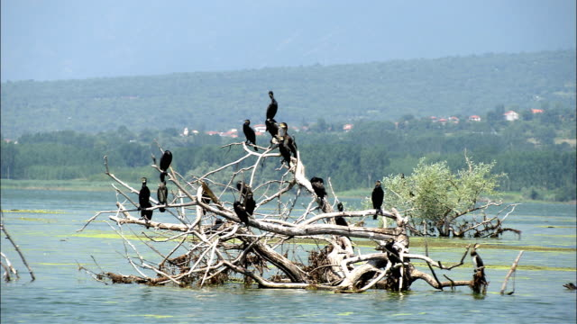 WS Cormorants on sunken tree in Lake Kerkini, Serres, Greece