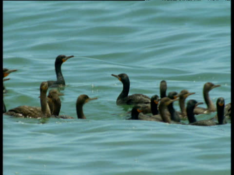 Cormorants swim on water before taking off
