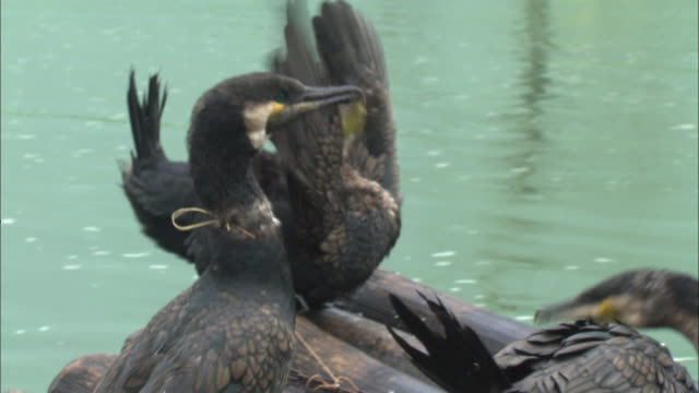 stockvideo's en b-roll-footage met cormorants tied with a string in guilin, southern china - cormorant