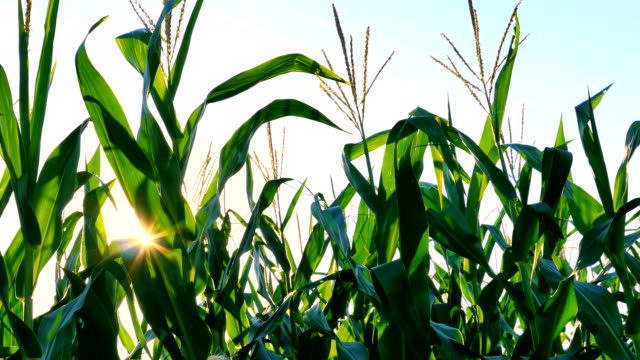 corn across sunset - illinois stock videos and b-roll footage