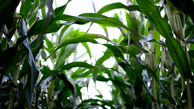 corn. agriculture - plant stem stock videos & royalty-free footage