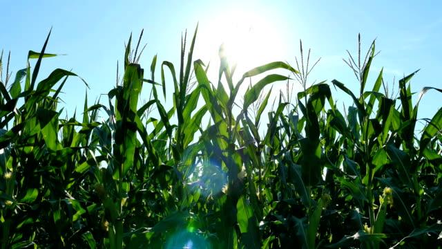 corn and sun flare - iowa stock videos & royalty-free footage