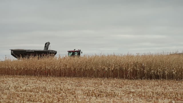 corn being harvested by combine and loaded into grain carts on a cold day near the small town of carman manitoba canada on saturday october 10 2020 - grain cart stock videos & royalty-free footage