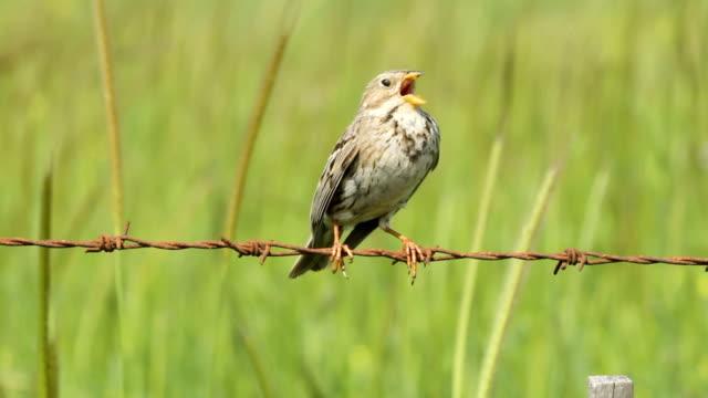 corn bunting (emberiza calandra) singing - filo metallico video stock e b–roll