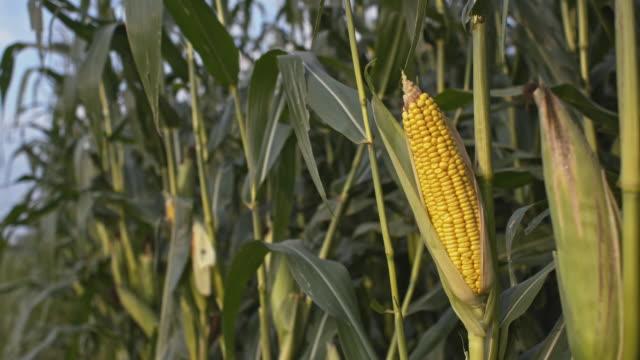 ds トウモロコシ作物のフィールド - 茎点の映像素材/bロール