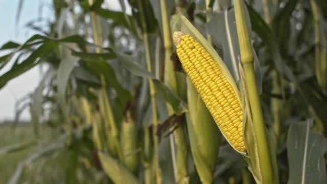 DS majs gröda i fältet