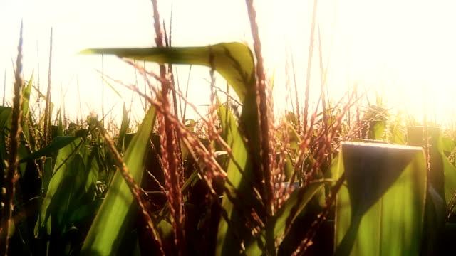 stockvideo's en b-roll-footage met corn crop - oogsten