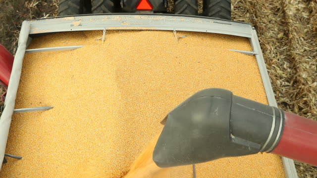 Corn Falling from Combine Auger into Grain Cart