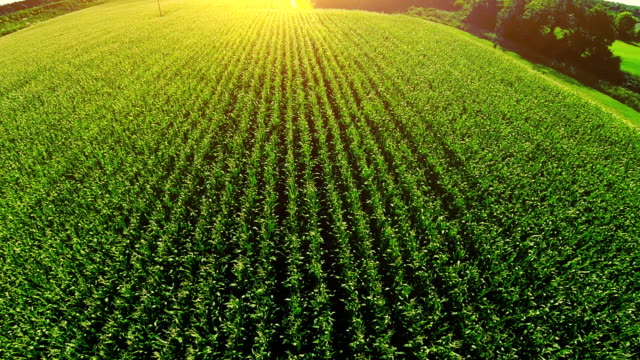 corn field aerial - agriculture stock videos & royalty-free footage