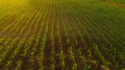 Corn Field. Agriculture aerial.
