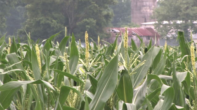 corn field and barn - arkansas stock videos & royalty-free footage