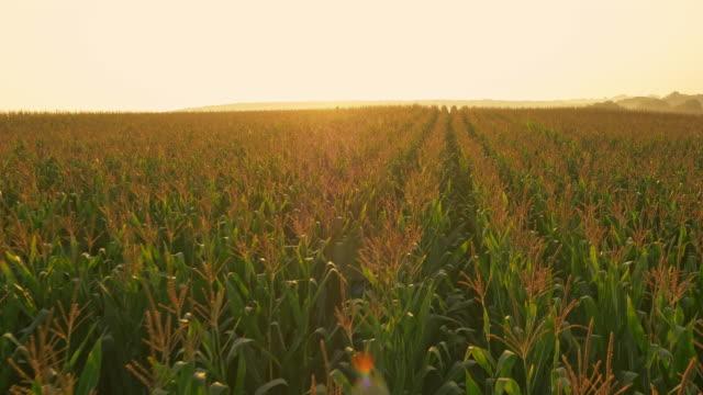 AERIAL Mais-Feld bei Sonnenaufgang