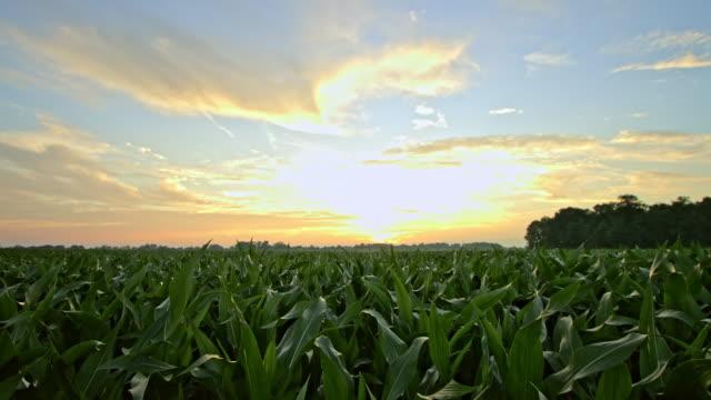 WS Corn field at sunrise