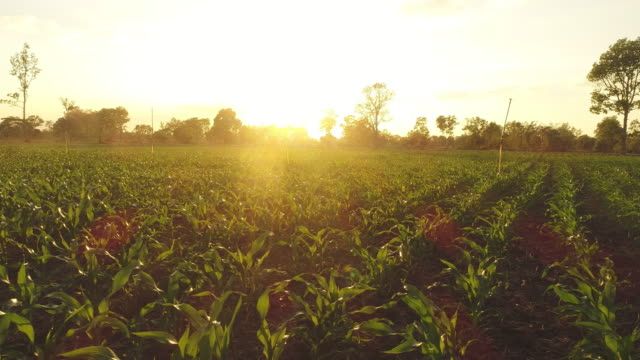 Corn Field at sunset. Agriculture