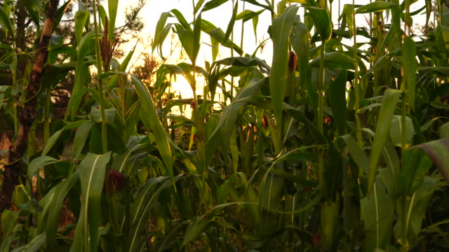 夕暮れ時のトウモロコシ畑 - 道を譲る点の映像素材/bロール