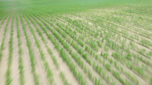vidéos et rushes de champ de maïs - drone pov - cultures