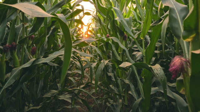 corn field in dolly shot at sunset - dolly shot stock videos & royalty-free footage