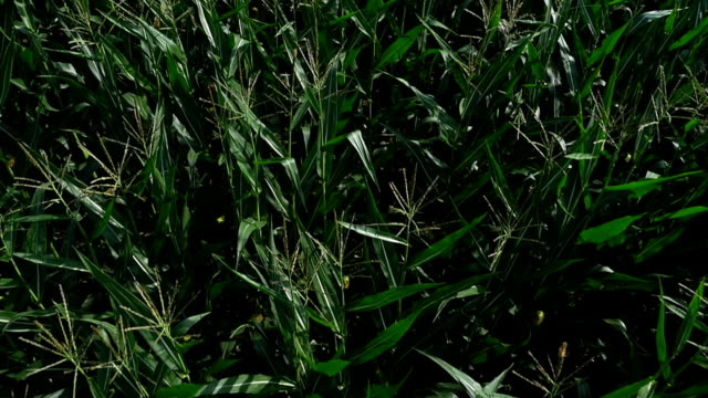 vídeos de stock, filmes e b-roll de campo de milho no verão de passagem aérea foto - ponto de vista de câmera