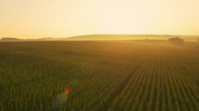 AERIAL Corn field in the sunrise