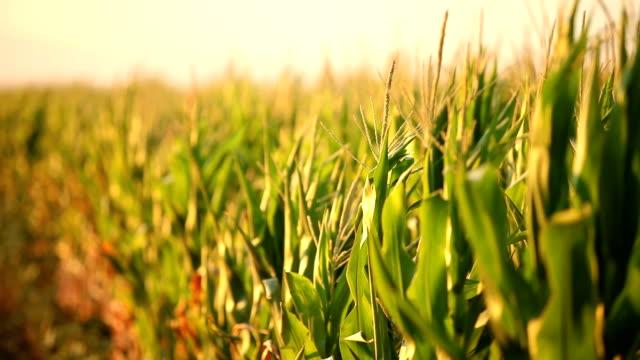 vídeos y material grabado en eventos de stock de campo de maíz en la puesta del sol - maíz zea
