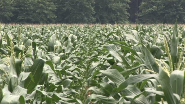 stockvideo's en b-roll-footage met corn field in the wind - arkansas