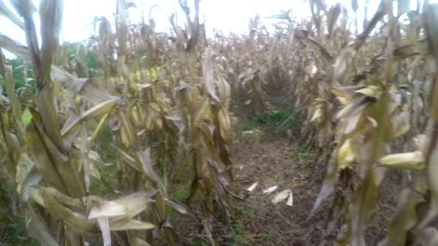 Corn field, rows of dry maize plants