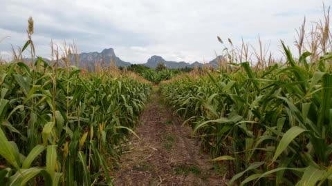 vídeos y material grabado en eventos de stock de campo de maíz - maíz zea