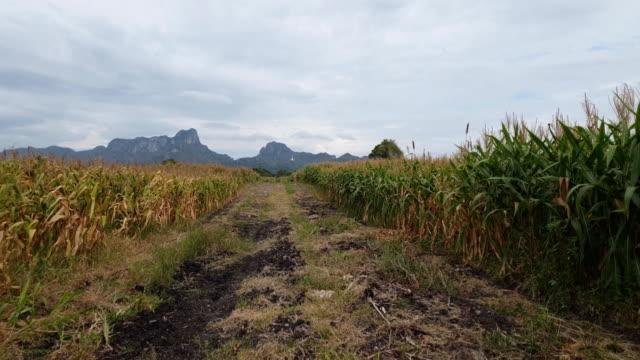 vídeos de stock, filmes e b-roll de campo de milho - grama