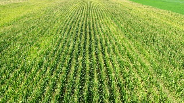vídeos y material grabado en eventos de stock de campo de maíz - orgánico