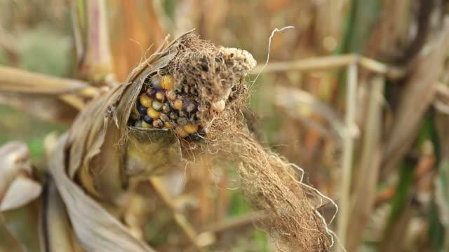 corn field - skadedjur bildbanksvideor och videomaterial från bakom kulisserna