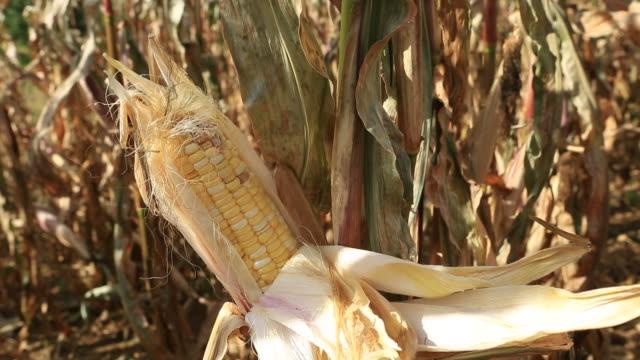corn field - tassel stock videos & royalty-free footage