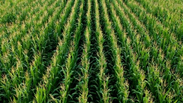 corn field - corn crop stock videos and b-roll footage