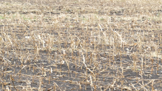 Corn field was damaged by drought