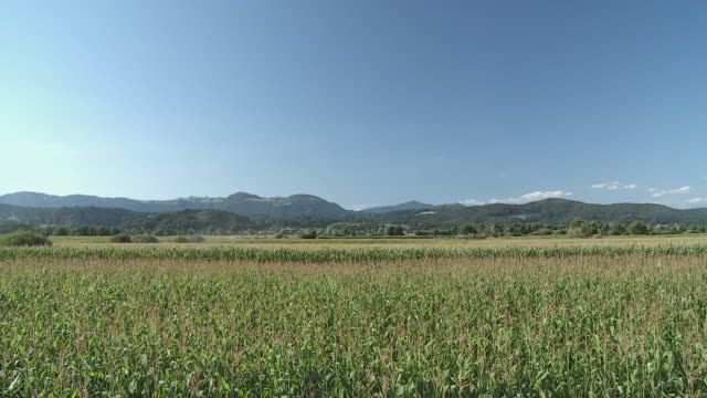 ms tu ws td corn field with hills in background, vrhnika, slovenia - vrhnika stock videos & royalty-free footage