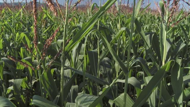 cu tu ws ha corn field with hills in background, vrhnika, slovenia - vrhnika stock videos & royalty-free footage