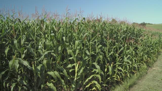ms tu ws ha corn field with hills in background, vrhnika, slovenia - vrhnika stock videos & royalty-free footage
