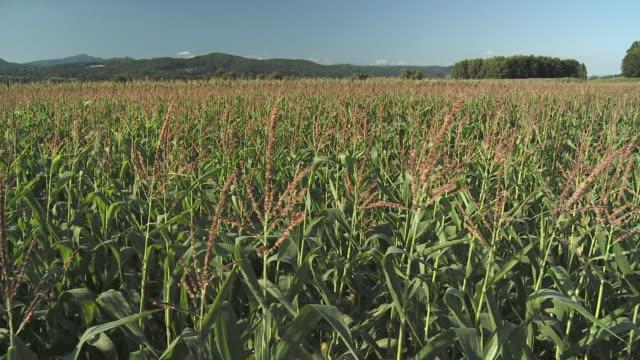ws cs corn field with hills in background, vrhnika, slovenia - vrhnika stock videos & royalty-free footage