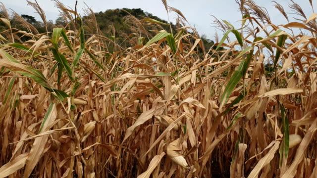 vídeos de stock, filmes e b-roll de campos de milho. - milho