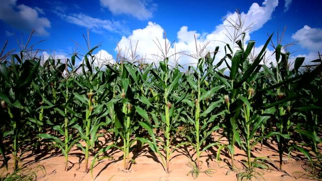 Campos de maíz.