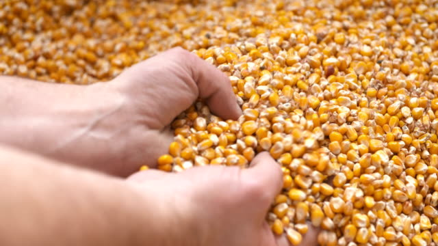 Corn grains in farmer hands.