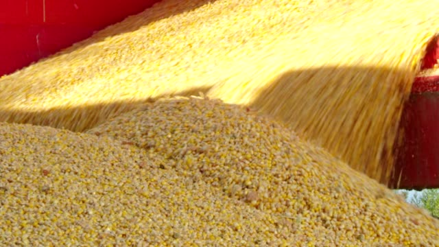 corn harvest. grains in large containers - grainy stock videos & royalty-free footage