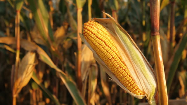 hd dolly: corn in golden sunlight - corn cob stock videos & royalty-free footage