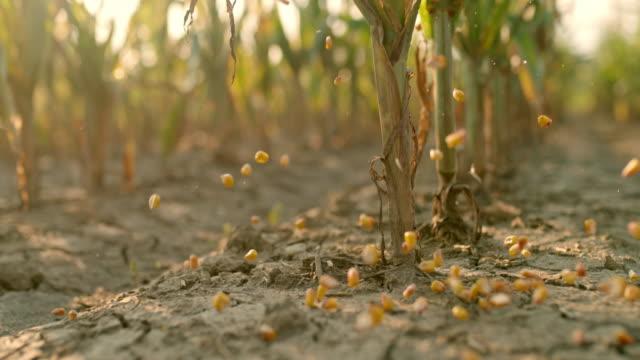 vídeos de stock e filmes b-roll de slo mo corn kernels falling on a dirt in the field - colheita