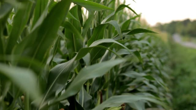 corn leaves by the road - corn cob stock videos & royalty-free footage