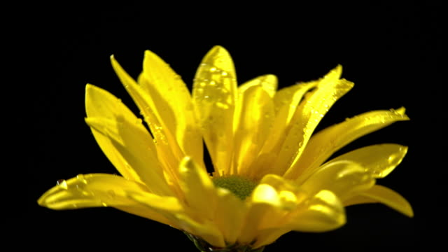 Corn marigold flower in beautiful light with water drops