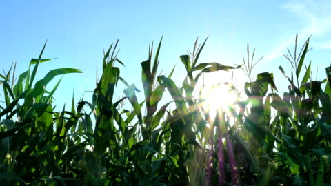 corn moving across sun - indiana stock videos & royalty-free footage