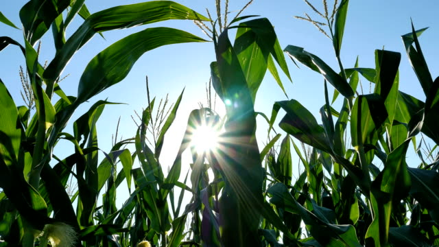 corn moving into sun - indiana stock videos & royalty-free footage